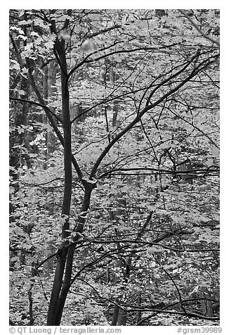 Trees with bright orange leaves, Tennessee. Great Smoky Mountains National Park (black and white)