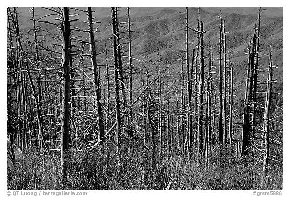 Hillsides in fall color seen through trees with berries, Clingmans Dome, North Carolina. Great Smoky Mountains National Park (black and white)