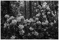 Mountain Laurel in bloom, Cataloochee, North Carolina. Great Smoky Mountains National Park ( black and white)