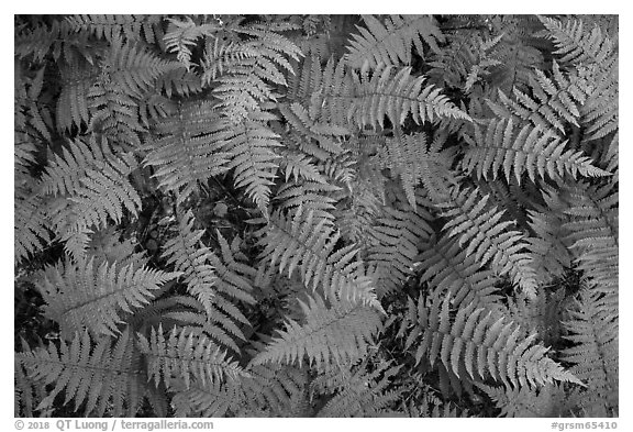 Close-up of ferns, Elkmont, Tennessee. Great Smoky Mountains National Park (black and white)