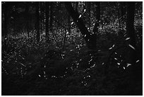 Synchronous lightning bugs (Photinus carolinus), late evening, Elkmont, Tennessee. Great Smoky Mountains National Park ( black and white)