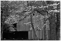 Historical barn with flowering dogwood in spring, Cades Cove, Tennessee. Great Smoky Mountains National Park ( black and white)