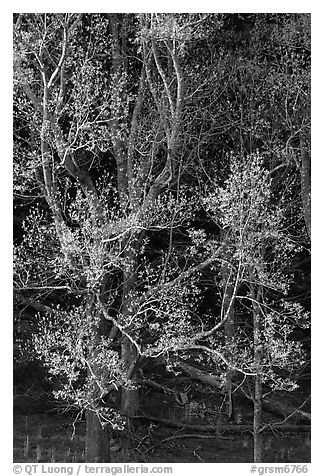Tree in early spring foliage, Cades Cove, Tennessee. Great Smoky Mountains National Park (black and white)