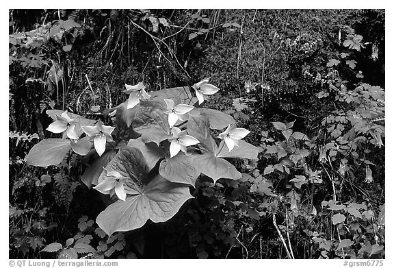 White trillium and columbine, Tennessee. Great Smoky Mountains National Park (black and white)
