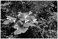 White trillium and columbine, Tennessee. Great Smoky Mountains National Park, USA. (black and white)