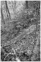 Flame Azaleas along Laurel Falls trail, Tennessee. Great Smoky Mountains National Park, USA. (black and white)