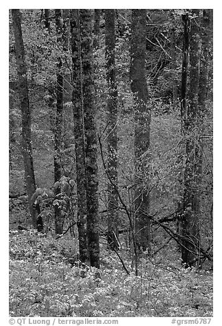 Forest with undergrowth of blue flowers, North Carolina. Great Smoky Mountains National Park (black and white)