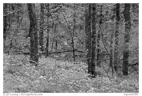 Carpet of white and blue wildflowers in spring forest, North Carolina. Great Smoky Mountains National Park (black and white)