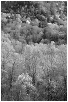 Verdant trees and hillside in spring, late afternoon, Tennessee. Great Smoky Mountains National Park ( black and white)