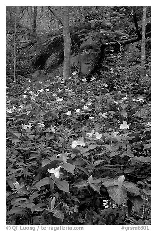 Multicolored Trillium in spring forest, Chimney area, Tennessee. Great Smoky Mountains National Park (black and white)