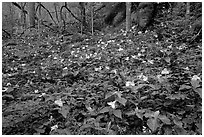 Carpet of multicolored Trilium in forest, Chimney area, Tennessee. Great Smoky Mountains National Park, USA. (black and white)
