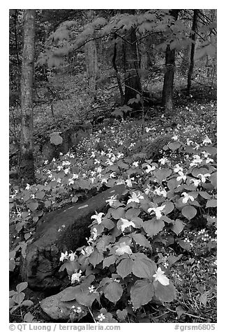 Carpet of White Trilium in verdant forest, Chimney area, Tennessee. Great Smoky Mountains National Park (black and white)