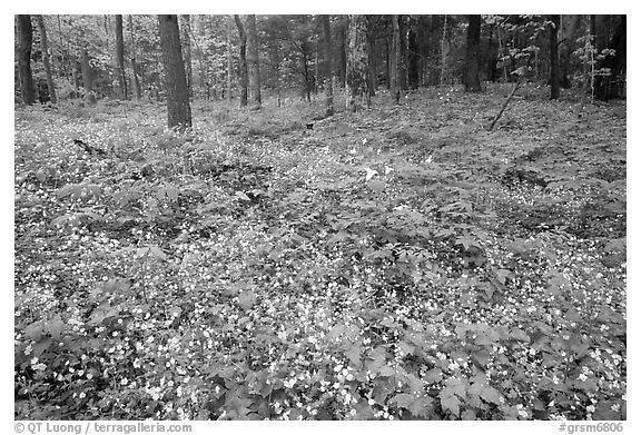 Forest floor covered with Fringed Phacelia (Phacelia fimbriata), Chimney area, Tennessee. Great Smoky Mountains National Park (black and white)