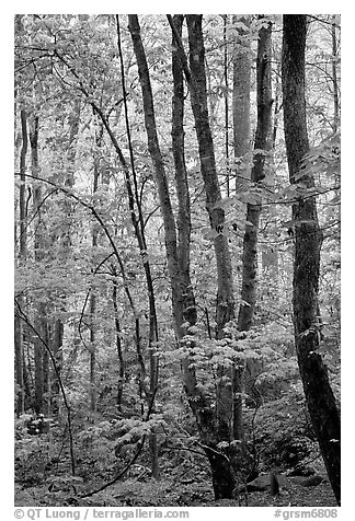 Spring Forest in rain, Chimney area, Tennessee. Great Smoky Mountains National Park (black and white)