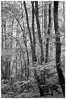 Spring Forest in rain, Chimney area, Tennessee. Great Smoky Mountains National Park ( black and white)