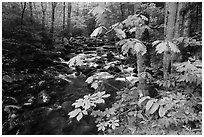 Wildflowers next to the Middle Prong of the Little Pigeon River, Tennessee. Great Smoky Mountains National Park ( black and white)