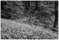Crested Dwarf Irises and forest, Greenbrier, Tennessee. Great Smoky Mountains National Park ( black and white)