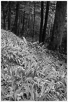 Crested Dwarf Irises blooming in the spring, Greenbrier, Tennessee. Great Smoky Mountains National Park ( black and white)