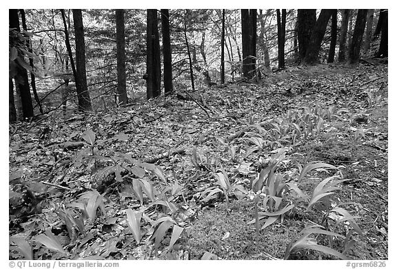 Forest floor with Crested Dwarf Iris, Greenbrier, Tennessee. Great Smoky Mountains National Park (black and white)