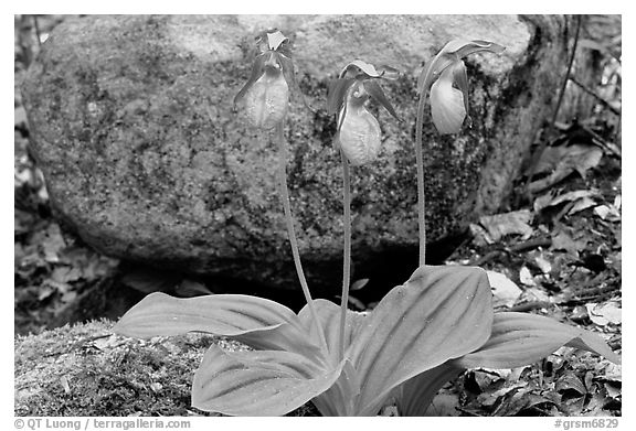 Pink lady slippers and rock, Greenbrier, Tennessee. Great Smoky Mountains National Park (black and white)