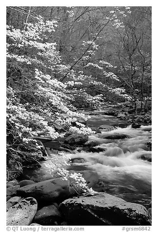 Blooming dogwoods along the Middle Prong of the Little River, Tennessee. Great Smoky Mountains National Park (black and white)