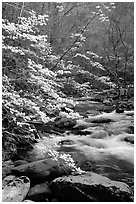Blooming dogwoods along the Middle Prong of the Little River, Tennessee. Great Smoky Mountains National Park, USA. (black and white)