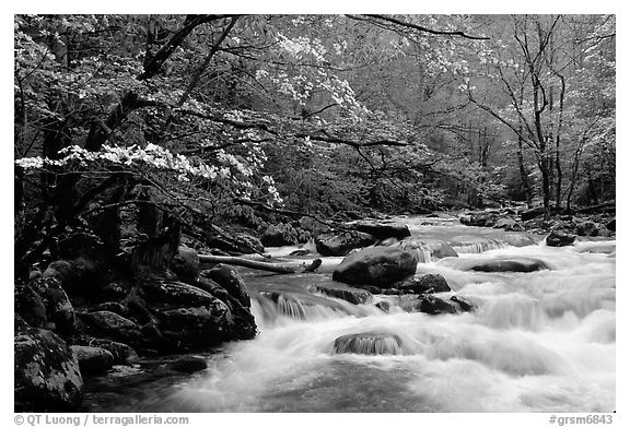 Dogwoods overhanging river with cascades, Treemont, Tennessee. Great Smoky Mountains National Park (black and white)