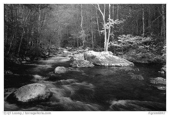 Blossoming Dogwoods, late afternoon sun, Middle Prong of the Little River, Tennessee. Great Smoky Mountains National Park (black and white)