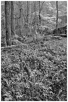 Crested Dwarf Irises in Forest, Roaring Fork, Tennessee. Great Smoky Mountains National Park, USA. (black and white)