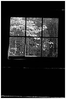 Dogwood blooms seen from the window of Jim Bales cabin, Tennessee. Great Smoky Mountains National Park, USA. (black and white)