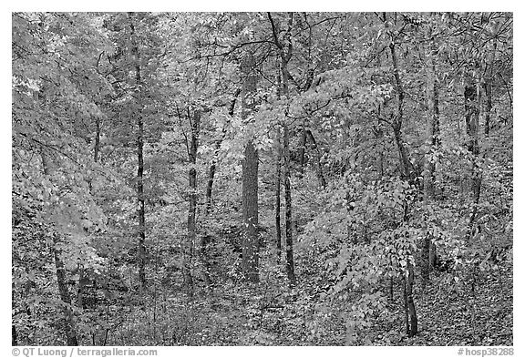 Forest in fall colors, West Mountain. Hot Springs National Park (black and white)