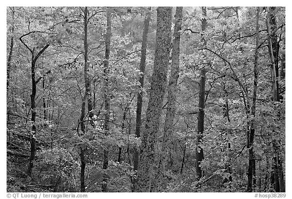 Forest in autumn colors, West Mountain. Hot Springs National Park (black and white)