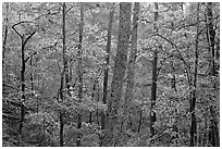 Forest in autumn colors, West Mountain. Hot Springs National Park, Arkansas, USA. (black and white)