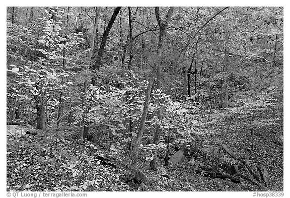 Trees in fall foliage, Gulpha Gorge. Hot Springs National Park (black and white)