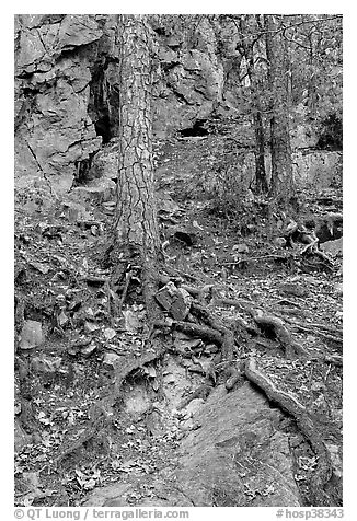 Roots and trees in forest, Gulpha Gorge. Hot Springs National Park (black and white)