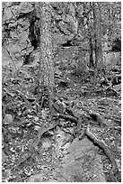 Roots and trees in forest, Gulpha Gorge. Hot Springs National Park, Arkansas, USA. (black and white)