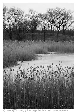 Reeds, frozen pond, and black oak trees. Indiana Dunes National Park (black and white)