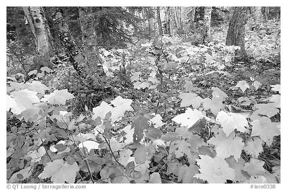 Forest in fall, Windego. Isle Royale National Park (black and white)