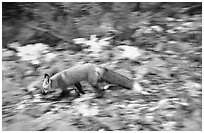 Red fox. Isle Royale National Park, Michigan, USA. (black and white)