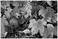 Maple leaves on forest floor. Isle Royale National Park, Michigan, USA. (black and white)