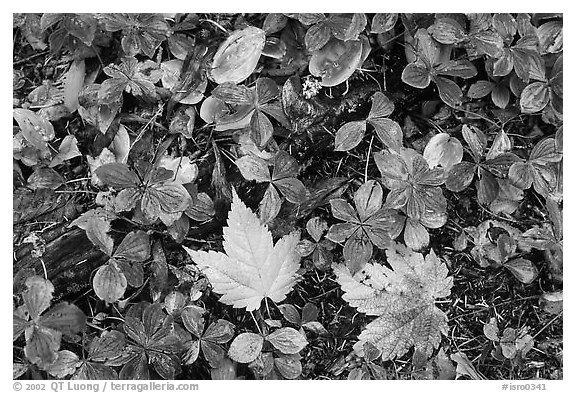 Forest floor detail in autumn. Isle Royale National Park (black and white)