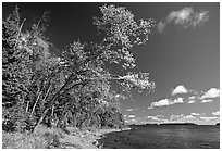 Poplar, coast on Rock Harbor trail. Isle Royale National Park ( black and white)