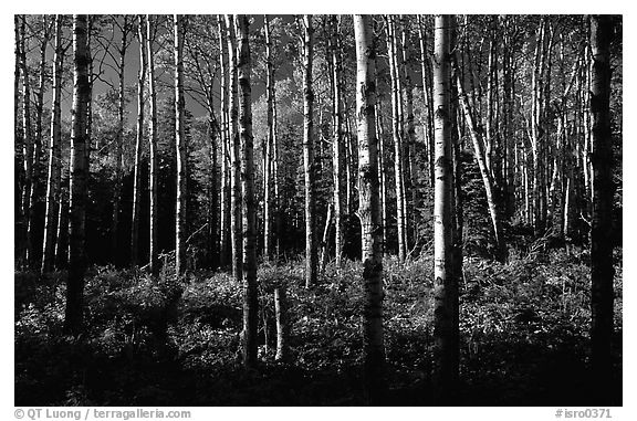 Birch trees near Mt Franklin trail. Isle Royale National Park (black and white)