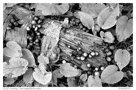 Log and mushrooms. Isle Royale National Park (black and white)