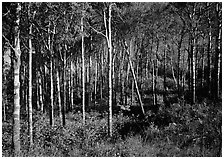 Sunny birch forest. Isle Royale National Park ( black and white)