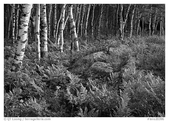 Birch trees on Greenstone ridge. Isle Royale National Park (black and white)
