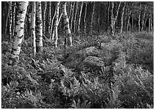 Birch trees on Greenstone ridge. Isle Royale National Park ( black and white)