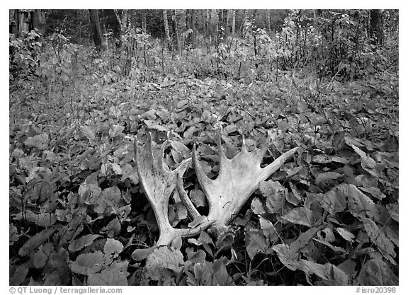 Moose antlers, Windego. Isle Royale National Park (black and white)