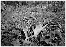 Moose antlers, Windego. Isle Royale National Park, Michigan, USA. (black and white)