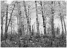 Birch trees in autum with branches blurred by wind. Isle Royale National Park ( black and white)